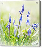 Bluebells On The Forest Acrylic Print