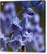 Bluebells Acrylic Print