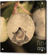 Blueberries On Bush Sepia Tone Acrylic Print