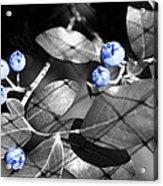 Blueberry Magic Acrylic Print