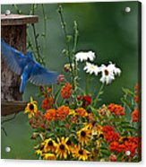 Bluebird And Colorful Flowers Acrylic Print