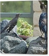 Bluejay And Mockingbird Acrylic Print