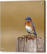 Bluebird At His Post Acrylic Print