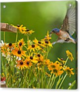 Bluebird Flying Over The Black Eyed Susans Acrylic Print