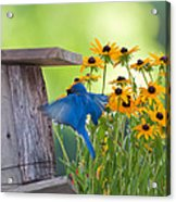 Bluebird Flying Thru Black Eyed Susans Acrylic Print