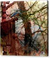 Bluebird Home Acrylic Print
