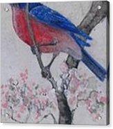 Bluebird In Cherry Blossoms Acrylic Print