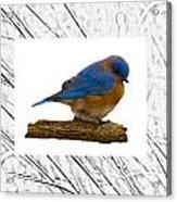 Bluebird In Prairie Frame Acrylic Print