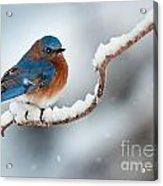 Bluebird In Snow Acrylic Print