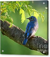 Bluebird In The Morning Acrylic Print