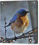 Bluebird In The Snow. Acrylic Print