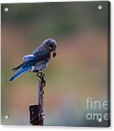 Bluebird Lunch Acrylic Print