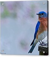 Bluebird Of Happiness Acrylic Print