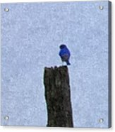 Bluebird On A Fencepost Acrylic Print