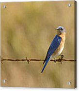Bluebird On A Wire Acrylic Print