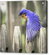 Bluebird On The Fence Acrylic Print