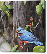 Bluebird - Red Berries Acrylic Print