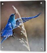 Bluebird Taking Flight Acrylic Print