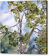 Bluebird Tree Acrylic Print