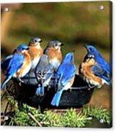 Bluebird Watering Hole Acrylic Print