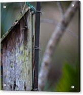 Bluebird With Nest Material In Beak Acrylic Print