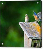 Bluebirds Hunting For Dinner Acrylic Print