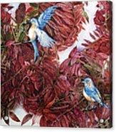 Bluebirds Love Sumac Acrylic Print by Helen Klebesadel