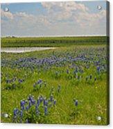 Bluebonnet Bliss Acrylic Print