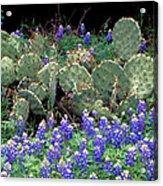 Bluebonnets And Cacti Acrylic Print