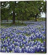 Bluebonnets And Oaks Acrylic Print