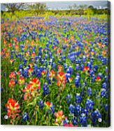 Bluebonnets And Prarie Fire Acrylic Print
