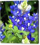 Bluebonnets Blooming Acrylic Print