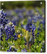 Bluebonnets In Spring Acrylic Print