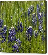 Bluebonnets In The Grass Acrylic Print