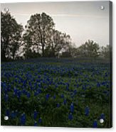 Bluebonnets On A Hazy Morning Acrylic Print