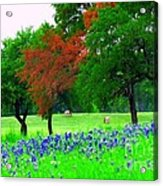 Bluebonnets With Red Flourish  Acrylic Print