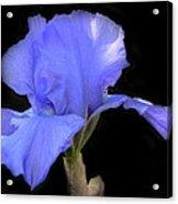 Blueirisonblack Acrylic Print