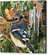 Bluejay And Ice Acrylic Print