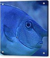 Bluespine Unicorn Fish Acrylic Print by Karon Melillo DeVega