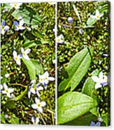 Bluets In Stereo Acrylic Print