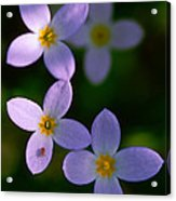 Bluets With Aphid Acrylic Print