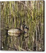 Bluewing Teal Acrylic Print