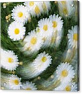 Blurred Daisies Acrylic Print