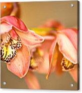 Blush Orchid Acrylic Print