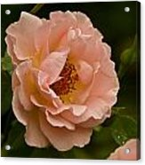 Blush Pink Rose With Dew Acrylic Print