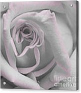 Blush Rose Acrylic Print