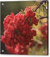 Blushing Berries Acrylic Print by Kandy Hurley