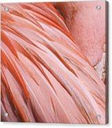 Blushing Flamingo Acrylic Print