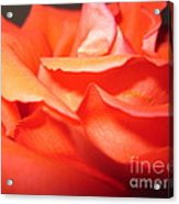 Blushing Orange Rose 6 Acrylic Print
