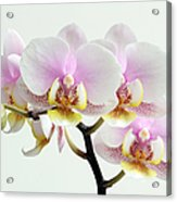 Blushing Orchids Acrylic Print by Juergen Roth